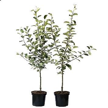 1 Kirschbaum Süsskirsche 1 Cox Orange Apfelbaum kräftig gewachsen im Topf