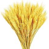 GTIDEA Natural Wheat Stalks 100 pcs Dried Wheat Sheave Ears Bundle Artificial Faux Wheat Grass Fall Wedding Flower Bouquet Fa