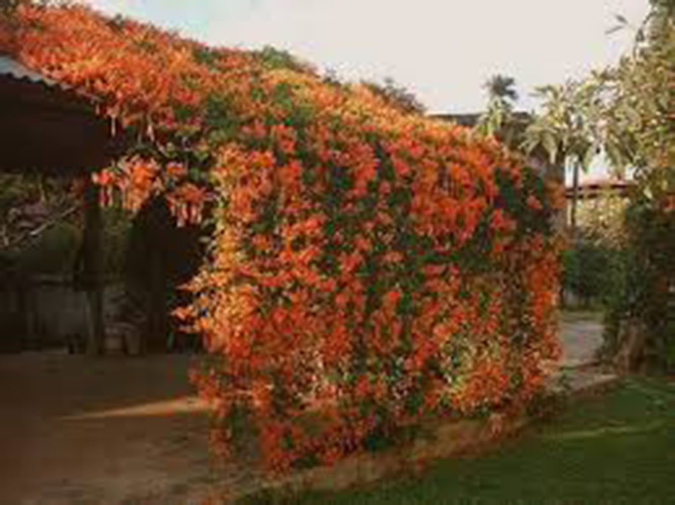 Trumpet Vine Creeper, Trumpet Flower, Campsis radican, (6) 16''-24'', Orange Flower, Orange Flowers, Vine, Vines, Hummingbird Vine, Hummingbird Flowers, Trumpet Vine Flower, Live Plants, Plant by Organic Heirloom Plants (Image #8)