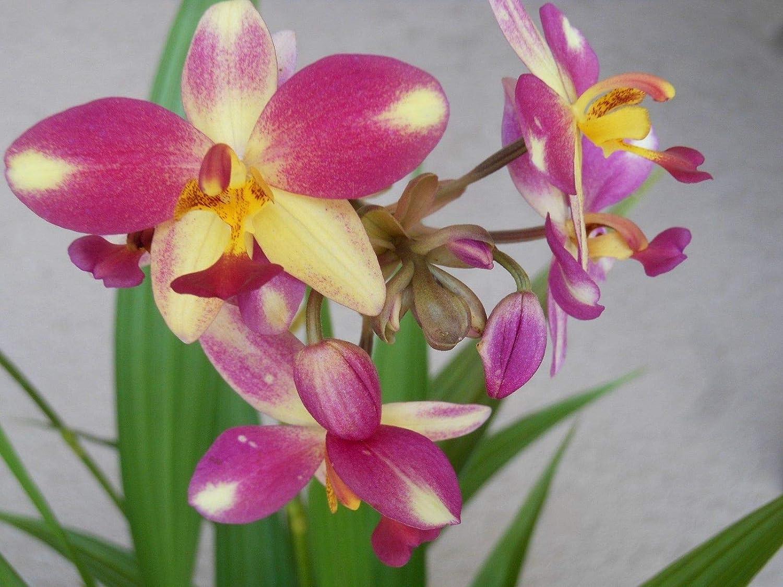 PLAT FIRM Semillas DE GERMINACION: Spathoglottis Plicata 'Berry-Banana' OrquãDea De Tierra