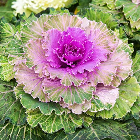 Amazon Com Outsidepride Ornamental Kale 1000 Seeds Flowering