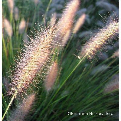 "AchmadAnam - Live Plant - 10"" Cassian"" Ornamental Grass - Ten Pennisetum alopecuroides : Garden & Outdoor"