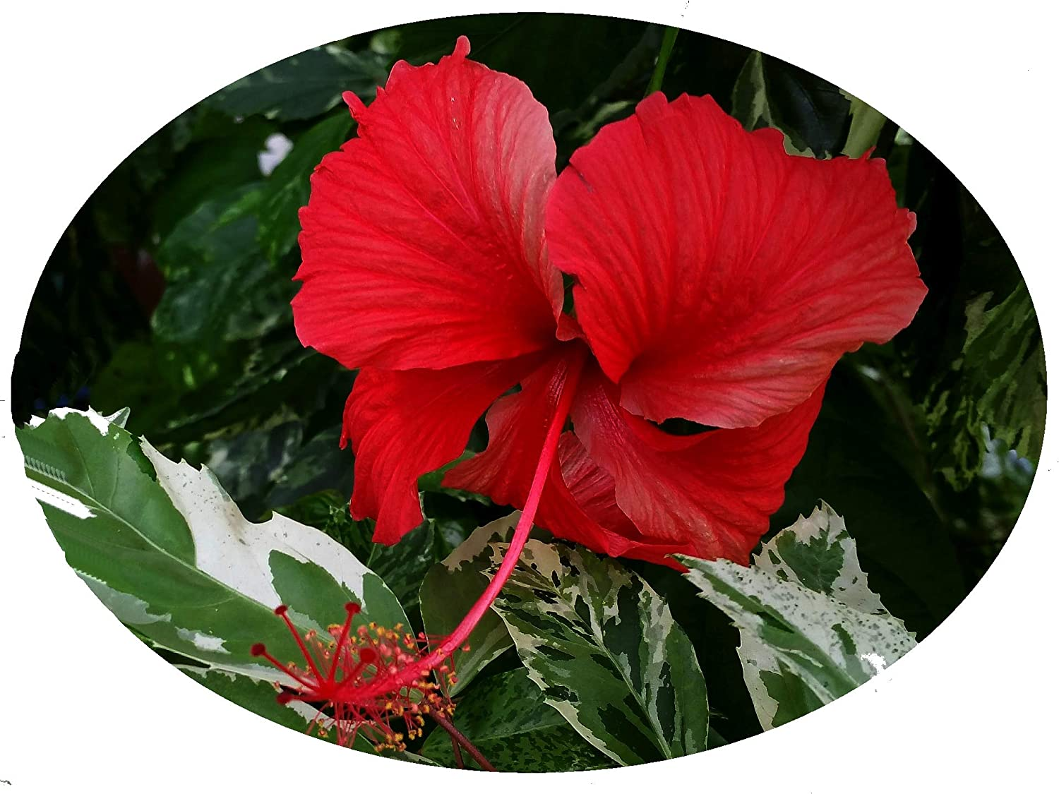 Amazoncom Snow Queen Tropical Hibiscus Live Plant Variegated
