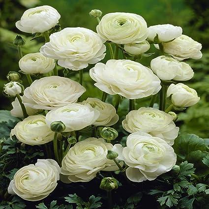 Amazon ranunculus asiaticus white 20 flower bulbs ranunculus asiaticus white 20 flower bulbs mightylinksfo