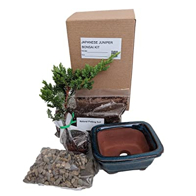 Bonsai Tree Gift Kit Plus Live Japanese Juniper Tree by AchmadAnam: Garden & Outdoor
