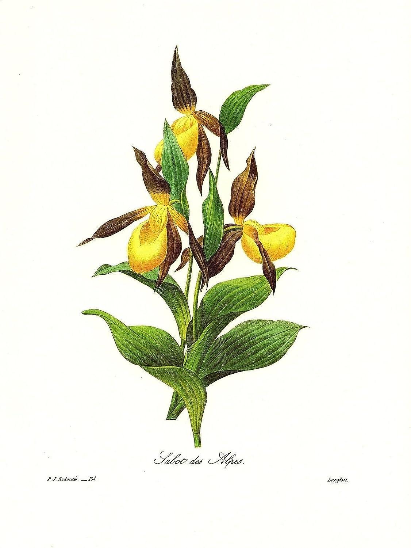 1991 Vintage REDOUTE FLOWER #134 LADY SLIPPER ORCHID SABOT Color Art Lithograph