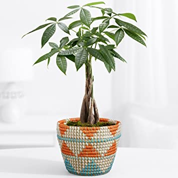 proflowers 1 count green tribal money tree indoor plants house - House Plants Tree