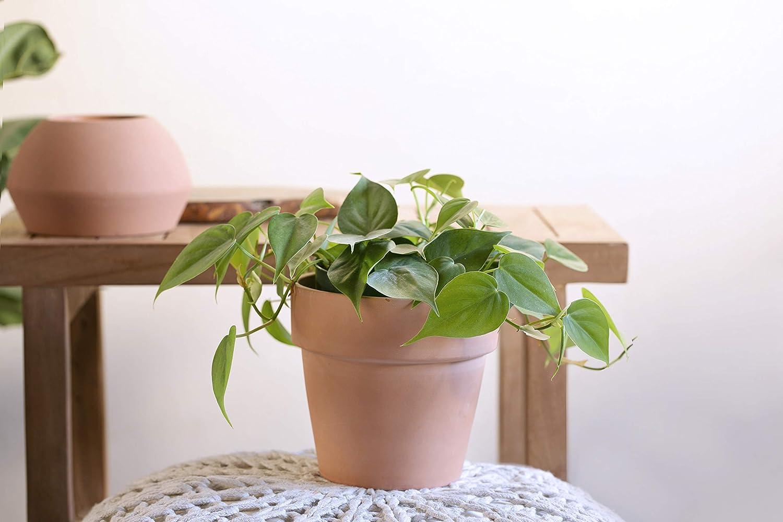 Live Plant LIVETRENDS//Urban Jungle Philodendron Cordatum in 6-inch Tall Premium Terra Cotta Pot,