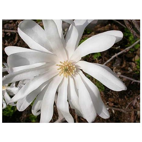 Amazoncom Owzoneplant 3 Plants In 35 Pots Royal Star Magnolia