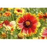 """""""Blanketflower"""" Common Gaillardia Indian Perennial Flower Seeds, 500+ Premium Heirloom Seed, (Gaillardia Aristata), 95% Germination, (Isla's Garden Seeds), Non GMO, Highest Quality."""