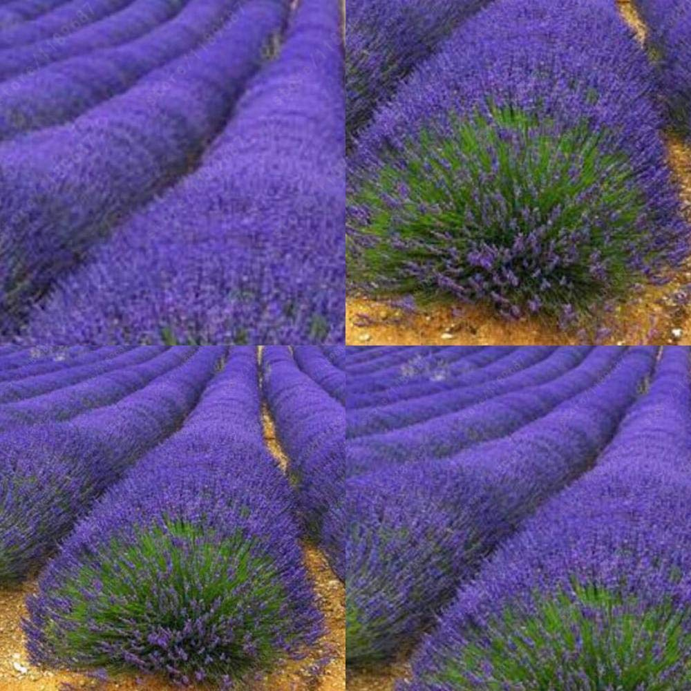 Portal Cool Type5 200Pcs: New Plant Vegetable Variety Herb Seeds Garden Aromatic Spices Lavender Herb