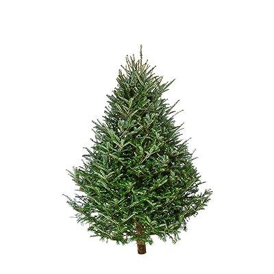 Balsam Fir 100 Seeds - Abies Balsamea Tree Seeds, Christmas Tree Plant Seeds, Fragrant Hardy Evergreen Seeds, Balsam Fir Bonsai Tree Seeds, Shade Tree Seeds Fast Growing : Garden & Outdoor