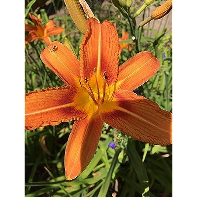 5 Wild Day LIily Bulbs System Hemerocallis Fulva Bareroot Daylily : Garden & Outdoor