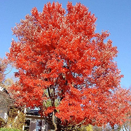 (Red Sunset Maple - EZ Start Potted Tree - 2 Years Old - 1½ - 3' Tall When Shipped - Bottomless 4x4x10 Pot for a Quick and Strong Establishment)