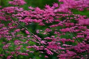 SHINDESHOJO Japanese Maple - ACER PALMATUM 'SHINDESHOJO' - 3 - Year Tree