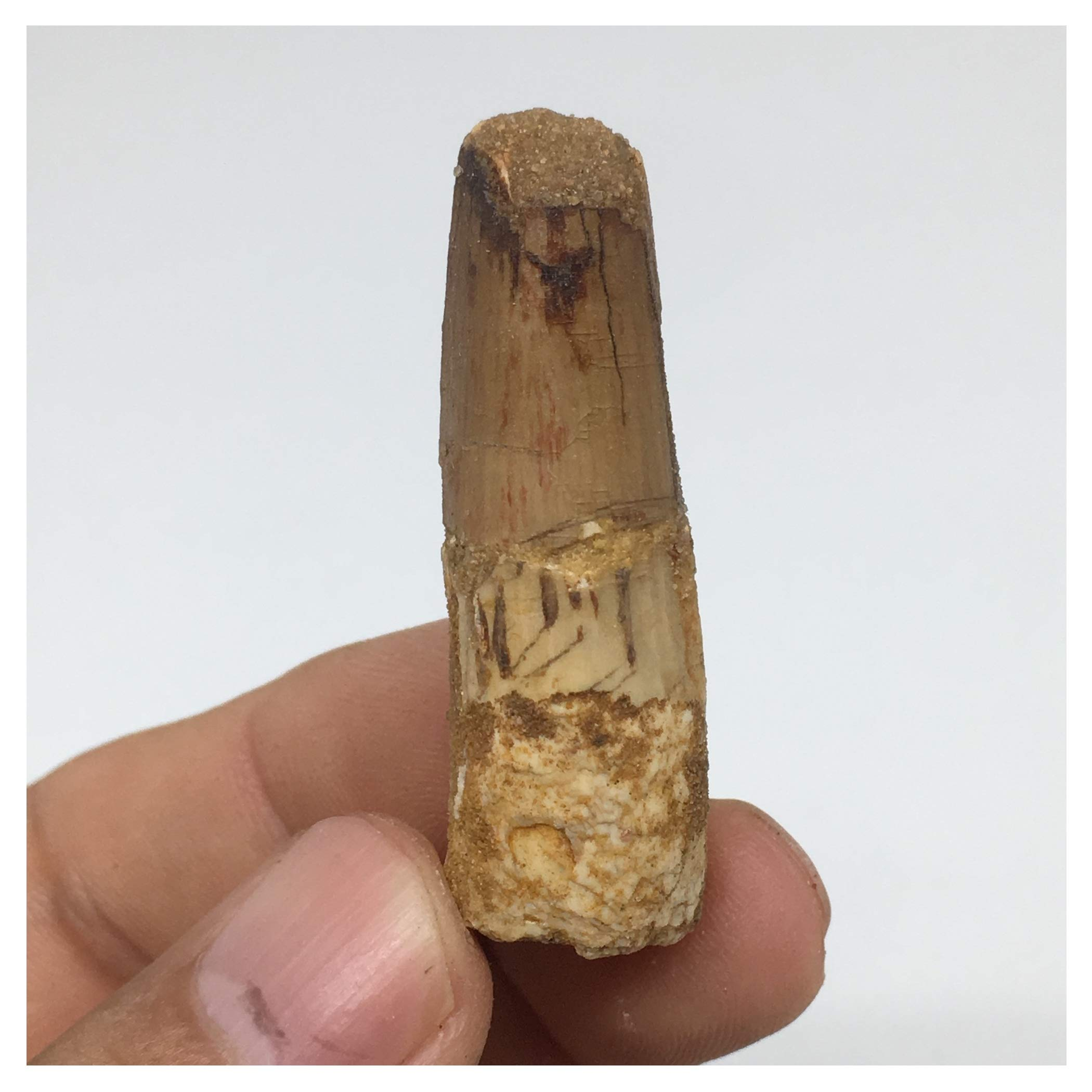 8.1g, 1.7''X 0.6''x 0.6'' Rare Natural Small Fossils Spinosaurus Tooth The Largest Carnivorous Dinosaur from Morocco, Mineral, Specimens, F126