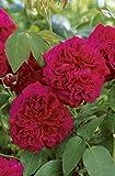Englische Rose 'William Shakespeare 2000' -R- im 4 L Container
