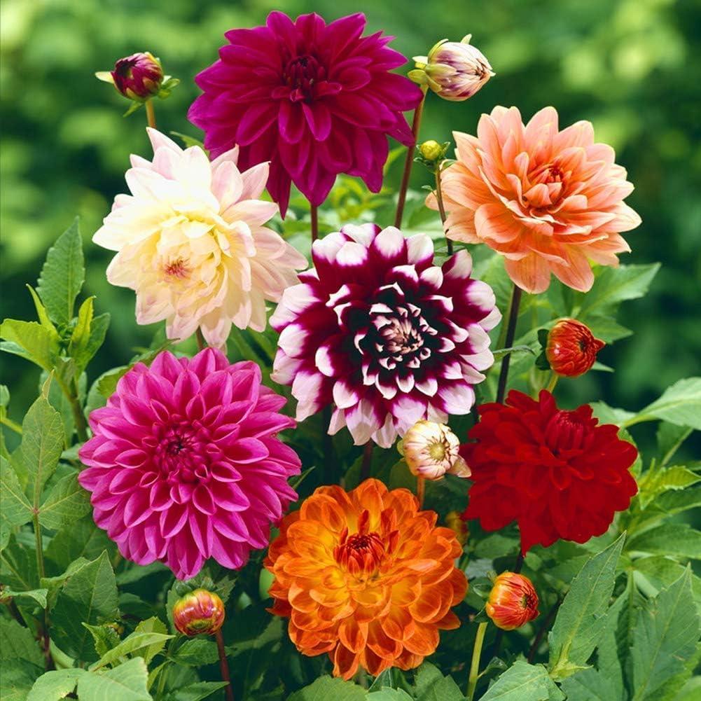 Details about  /50 Dahlia Flower Seeds Mix Kind Fresh Garden Home Potten Nature Beautiful Plants