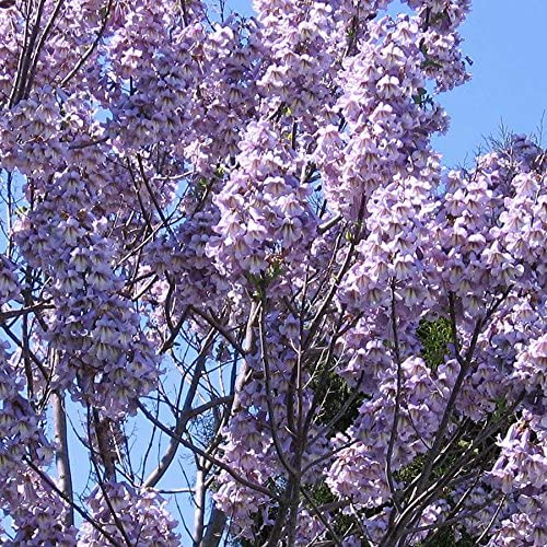 Gift Royal Empress Tree 5000 seeds Paulownia elongata