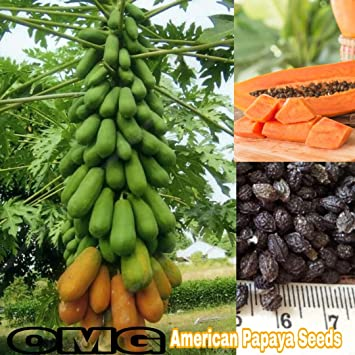 8fd7fdaa3 American Papaya seeds dwarf variety sweet delicious fruit 35 seeds packet:  Amazon.in: Garden & Outdoors