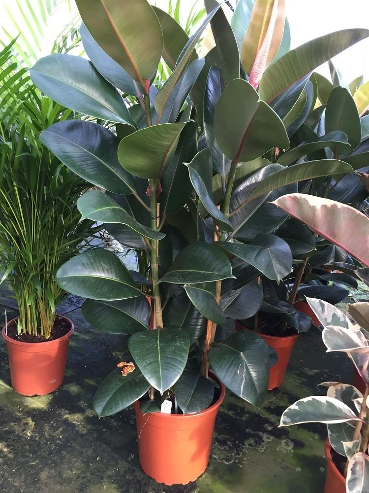 Large Rubber Plant in a 27cm pot (Ficus elastica Robusta) Approx 70-80cm tall Perfect Plants
