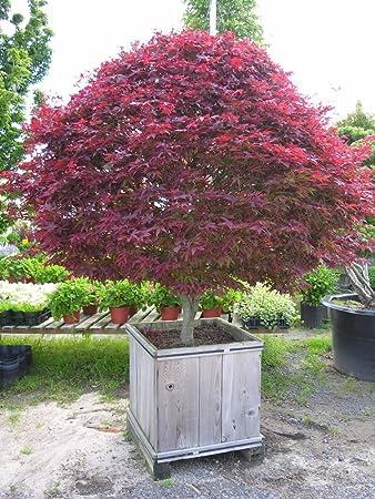 Amazon Com 25 Seeds Of Japanese Red Maple Tree Landscape