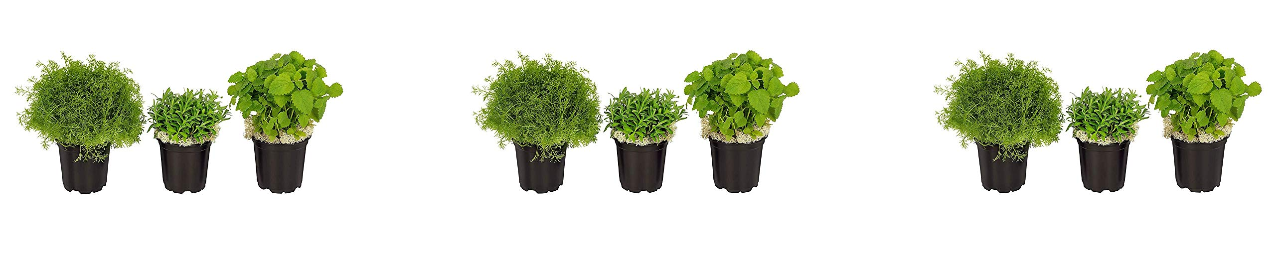 The Three Company Stress Relieving Live Aromatic 4'' Herb Combo (Lemon Balm, Rosemary, Chamomile) 1 Pint Pot Aids in Relaxation (Thrее Рack)