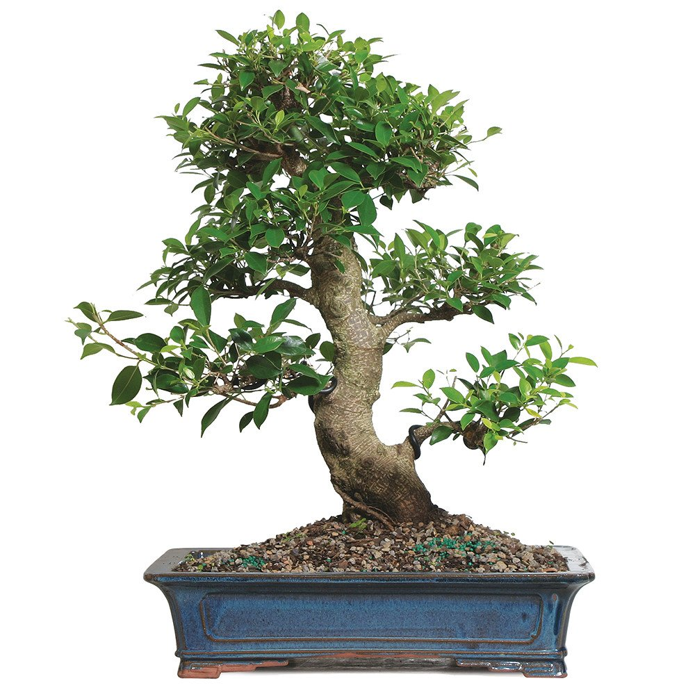 Brussel's Bonsai ST4815GGF-P Golden Gate Ficus Specimen Bonsai