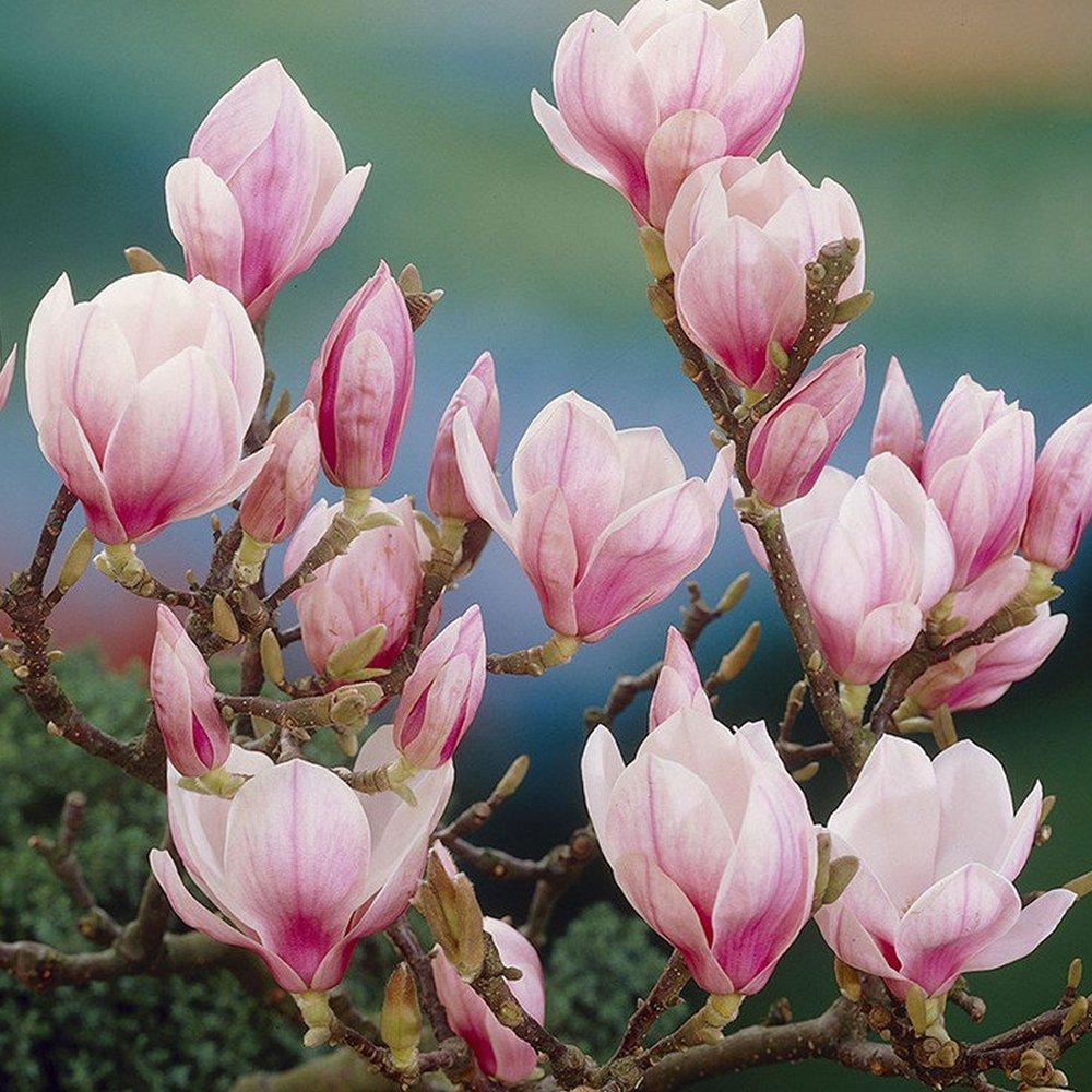 1 X MAGNOLIA SOULANGEANA SAUCER MAGNOLIA DECIDUOUS SHRUB HARDY PLANT IN POT Gardener's Dream