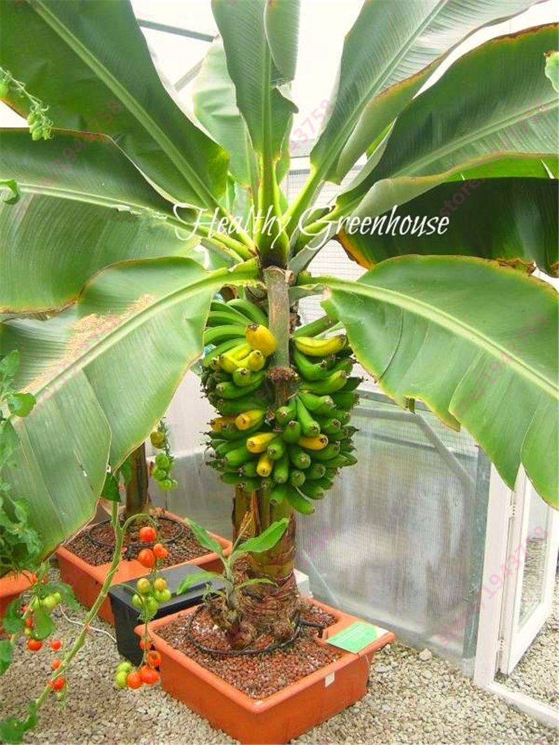 200 pcs Banana Seeds,dwarf fruit trees,Milk Taste,Outdoor Perennial Fruit Seeds For Garden plants SVI