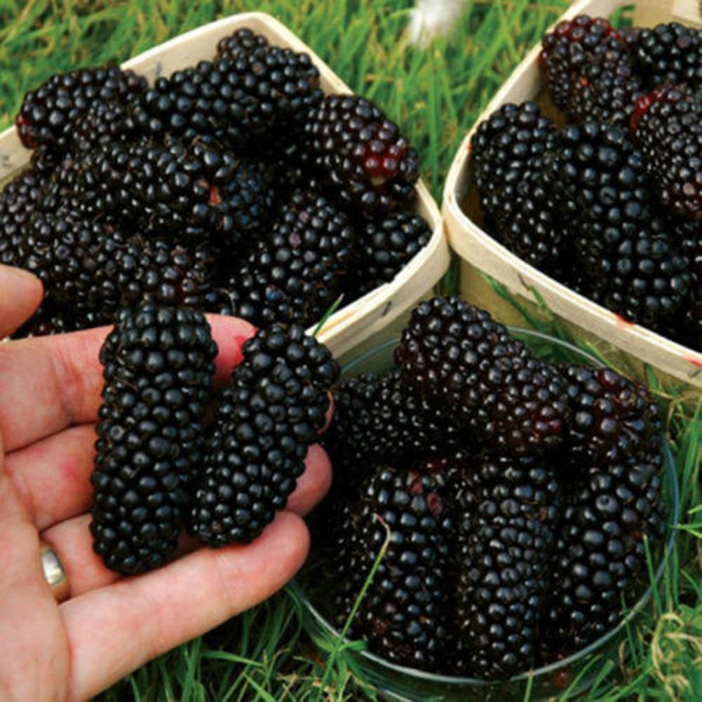 100 Seeds/Pack Thornless BlackBerry Seeds,Delicious,Nutritious, Sweet, Natural Snack, Perennial Garden Or Pot Fruit