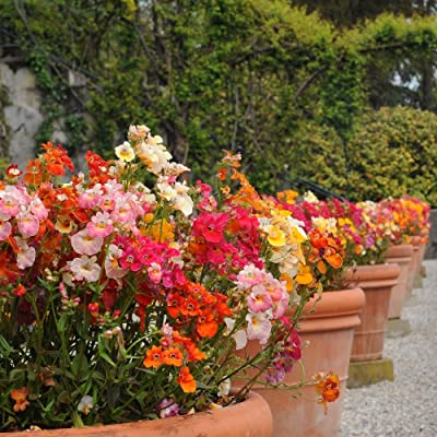 Nemesia 'Carnival Mix' seeds - Nemesia strumosa : Garden & Outdoor