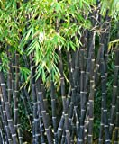 baumschule anding schwarzer garten bambus fargesia. Black Bedroom Furniture Sets. Home Design Ideas