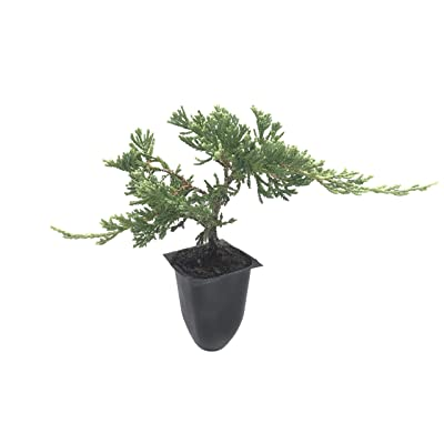 Blue Rug Juniper Wiltonii - 30 Live Plants - Drought Tolerant Cold Hardy Evergreen Groundcover : Garden & Outdoor