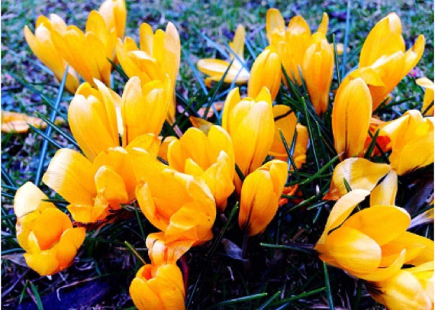 Amazon 8 Yellow Crocus Saffron Bulbshappy To Plantbonsai Pot