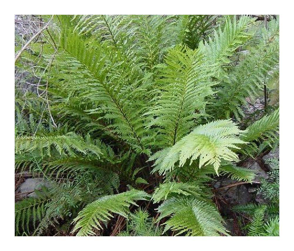 Todea barbarae - King fern - 10 seeds Exotic Plants