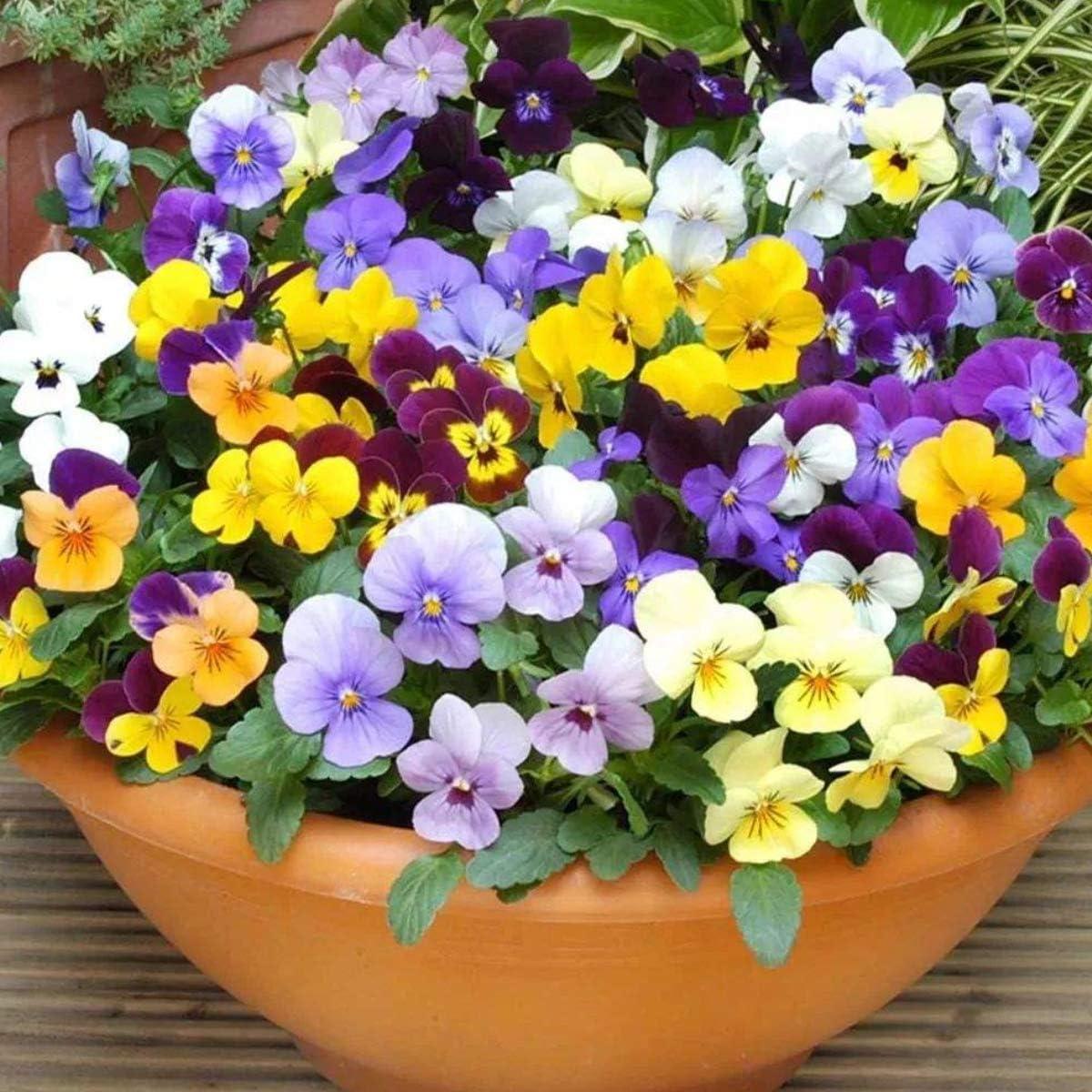 Cioler - Semillas de flores Pansy, 100 unidades, la violeta del pensamiento es una especie común de flores silvestres, flores ornamentales para el jardín de casa, 04