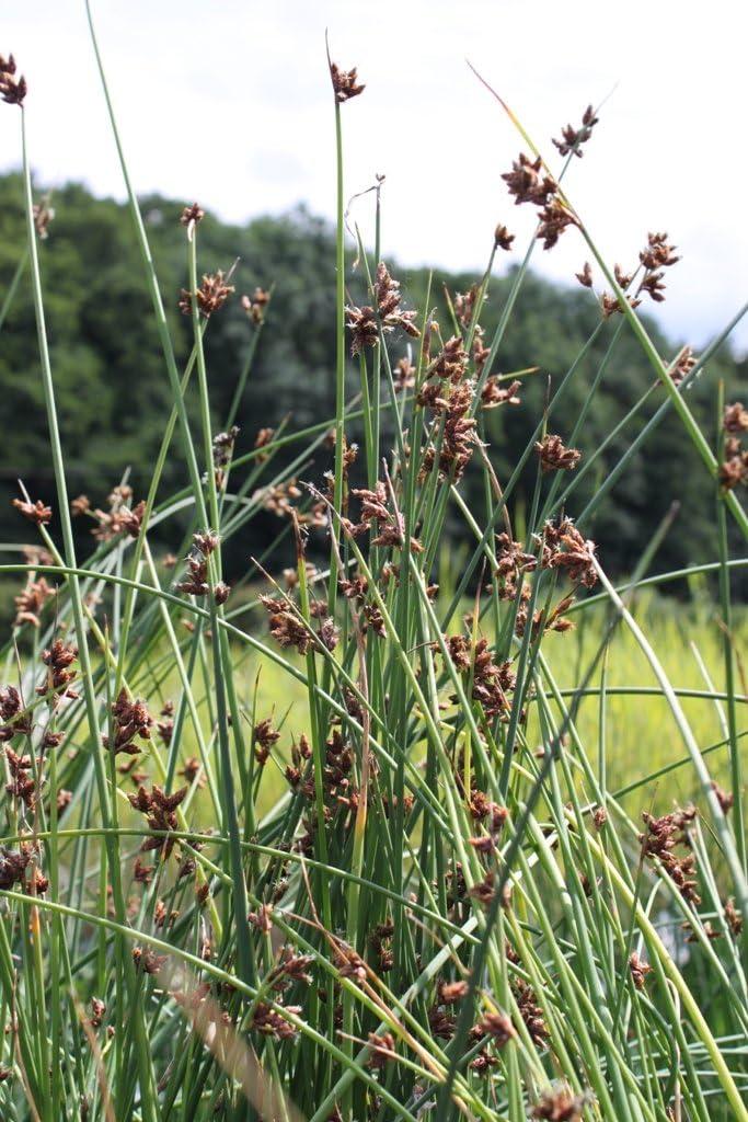 fertig im Pflanzkorb Wasserpflanzen Wolff Seesimse Scirpus lacustris Schoenoplectus lacustris - Teichsimse