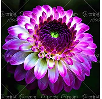 Amazon True Dahlia Bulbs Dahlia Flower Not Dahlia Seeds
