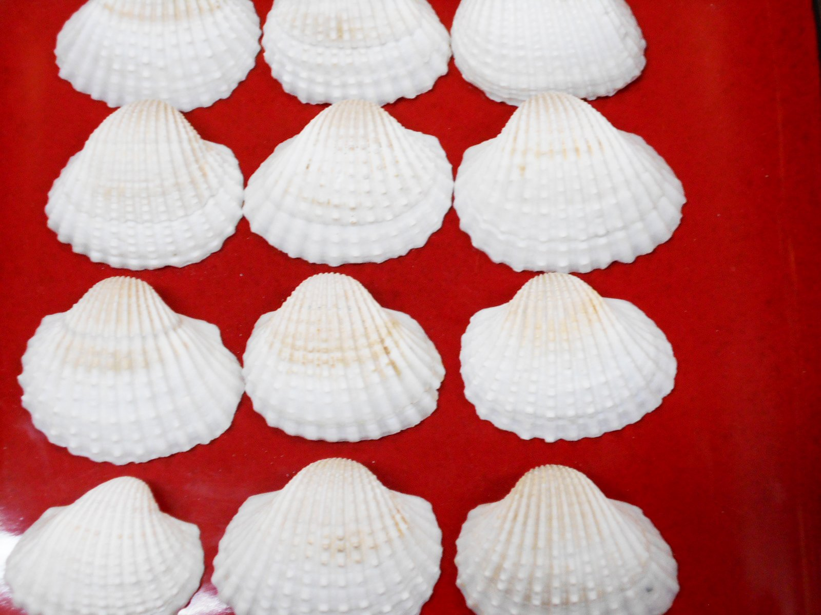 1/2lb (about 15) Large White Ark Shells Seashells (1 3/4'' - 2 1/4'') Beach Wedding Hobby Crafts by Florida Shells and Gifts (Image #2)
