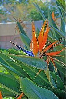 strelitzia plant bird of paradise 1 plant amazon co uk garden
