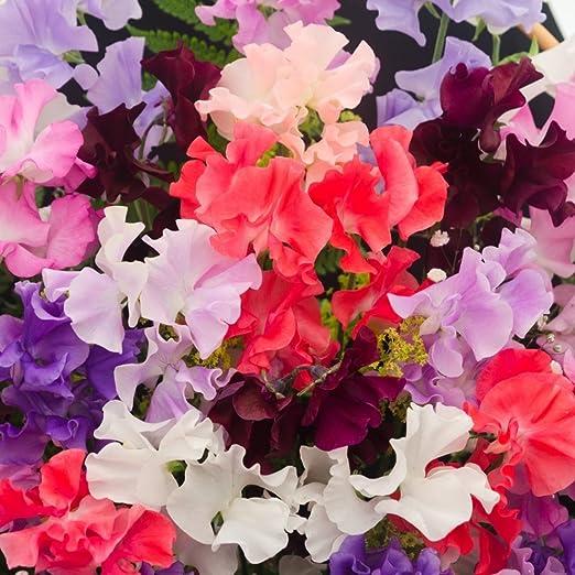 Semillas mixtas de guisante de olor - Lathyrus odoratus: Amazon.es ...