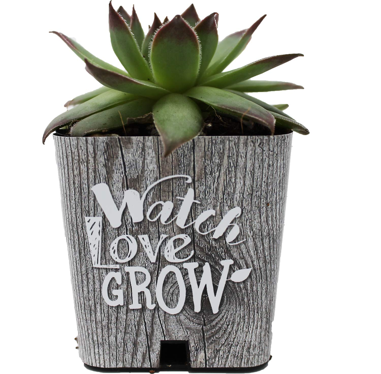 PRODUCT80 Succulent Wraps for Favors, for 2'' Pots, Party, Baby Shower and Wedding Favors for Women. Does NOT Include Succulents. (50, Barnwood Watch Love Grow) by PRODUCT80