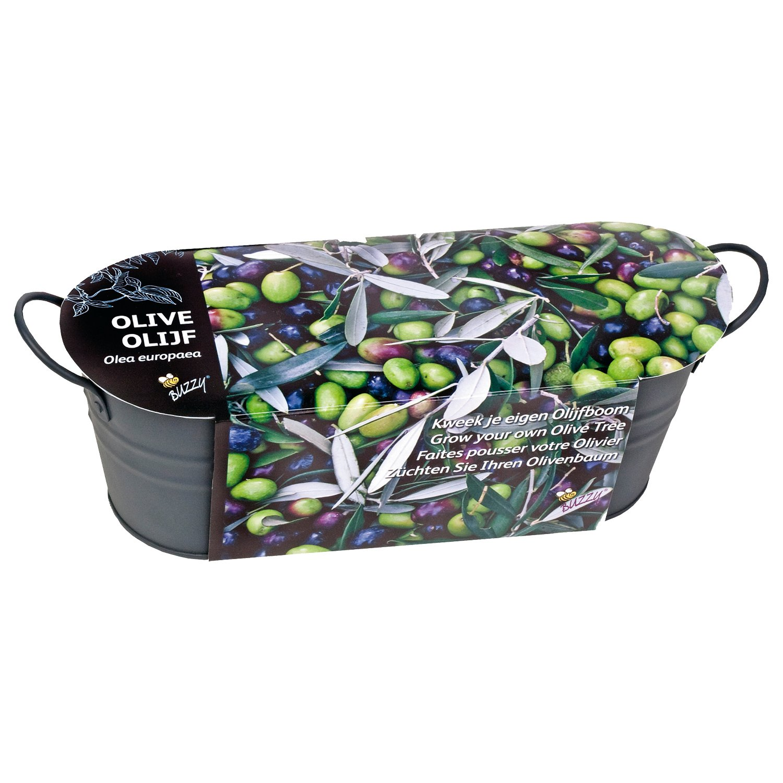 Olivenbaum Anzuchtsset in anthraziter Blechwanne Tuin