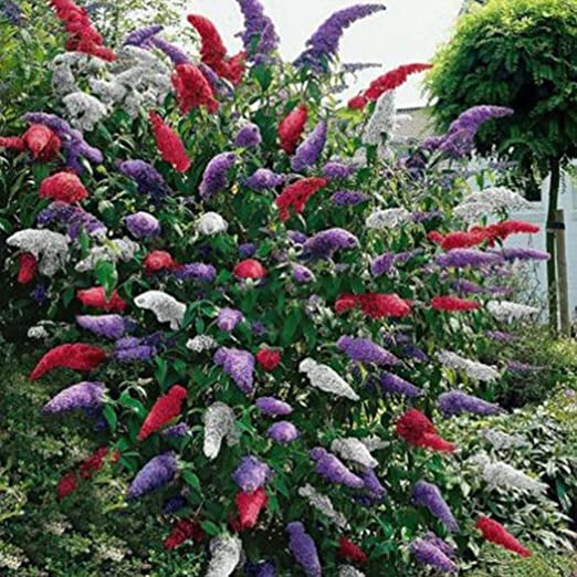 Ncient 20 Semillas de Buddleia Arbusto de Mariposas Butterfly Bush Semillas Flores Raras Plantas Bonsai para Jardín Balcon Interior y Exteriores: Amazon.es: Jardín