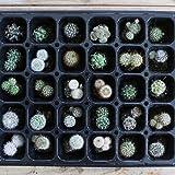 ミニサボテン 鉢植え 寄せ植え セット (苗30本セット)