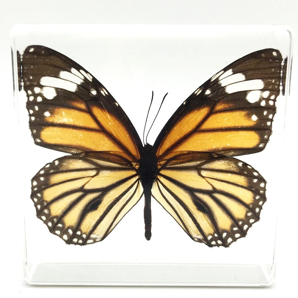 Tiger Butterfly Paperweight Paperweights Specimen Specimens Collection Display(3''x3''x1'') by Amazingbug