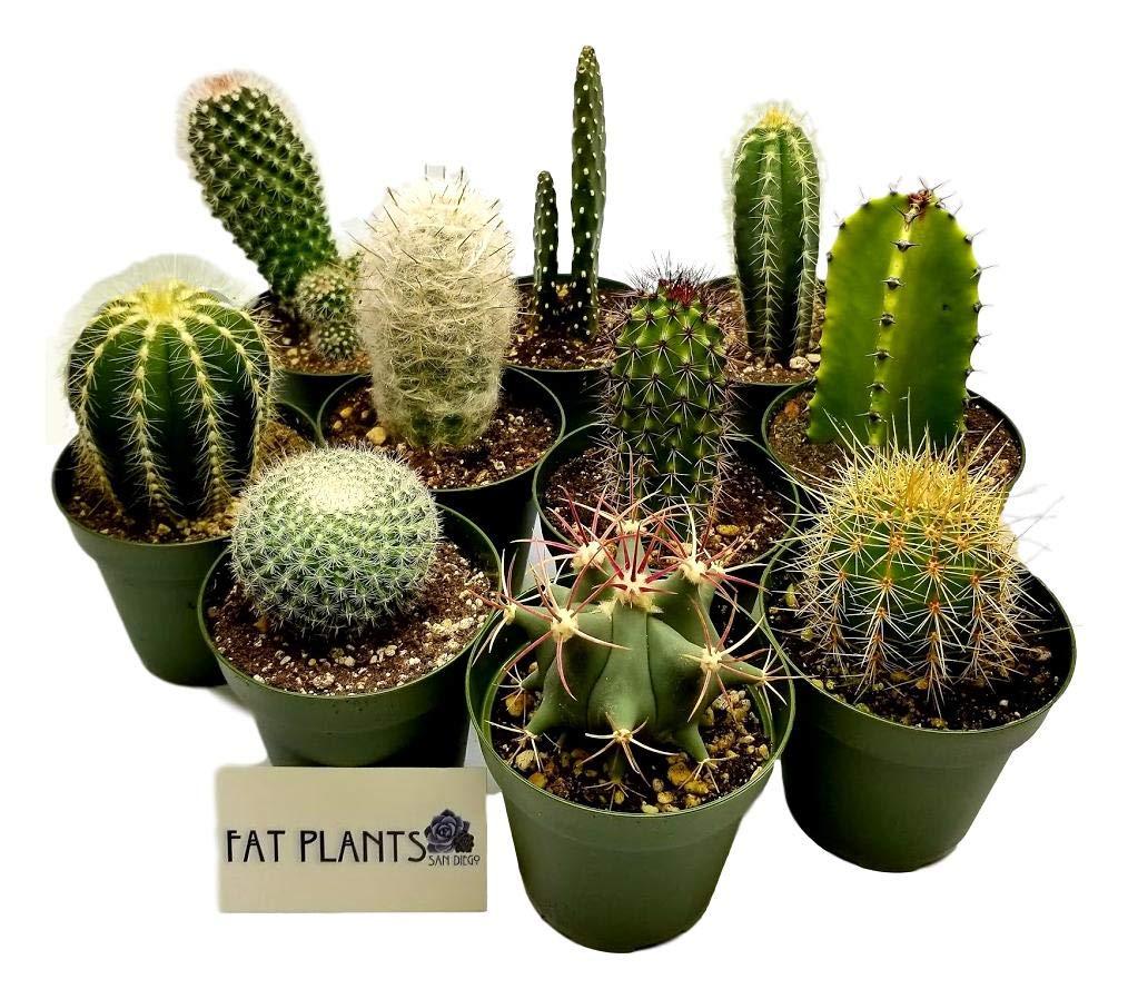 Fat Plants San Diego Large Cactus Plant(s) (2) by Fat Plants San Diego (Image #5)