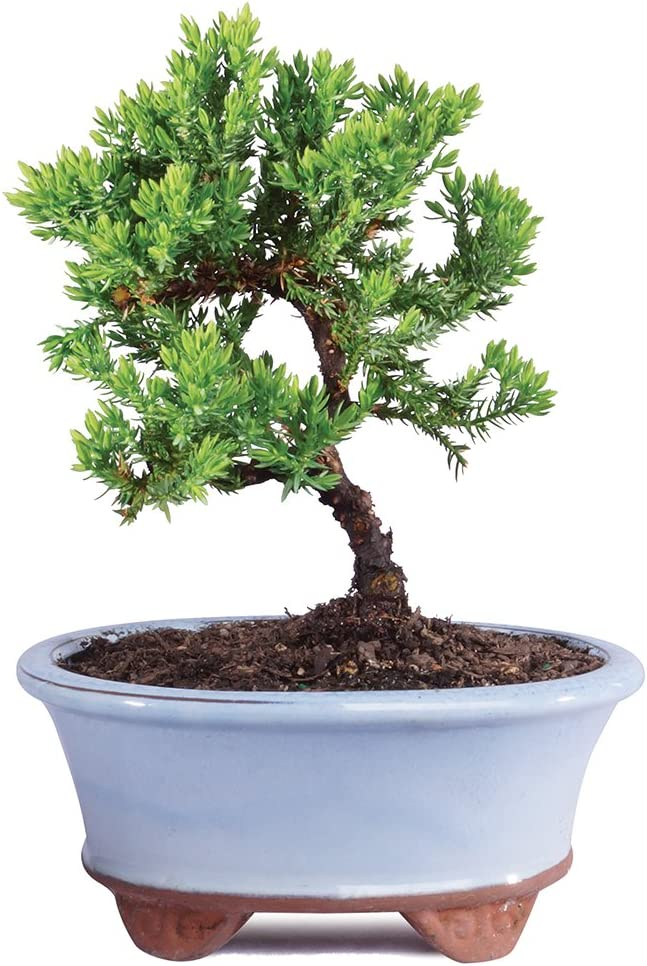 Amazon Com Brussel S Live Green Mound Juniper Outdoor Bonsai Tree 3 Years Old 4 To 6 Tall With Decorative Container Not Sold In California Garden Outdoor