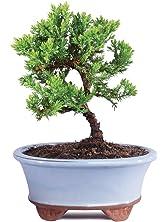 Brussel's Green Mound Juniper Bonsai - Small - (Outdoor) - Not Sold in California